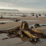 🌲 El bosque prehistórico que resurge en Gales