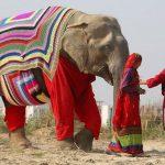 🐘 Voluntarias Tejen abrigos para Elefantes Rescatados en India