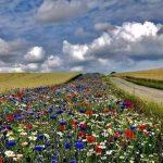 🌺🐝 En Dinamarca, la Ley obliga a los Propietarios Agrícolas a Plantar el 5% con Flores para las Abejas